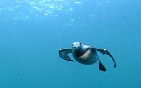 Guillemot diving