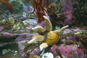 Starfish eating Arctica Islandica